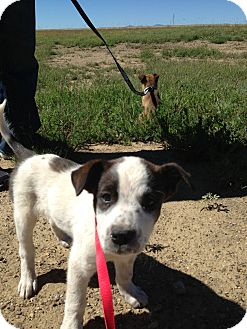 Blue Heeler Mix Puppy for adoption in Westminster, Colorado - John Paul
