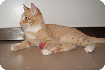 Domestic Shorthair Kitten for adoption in Trevose, Pennsylvania - Ola