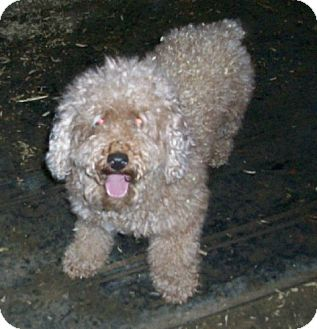 Miniature Poodle Dog for adoption in Liberty Center, Ohio - Pepper
