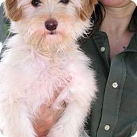 Adopt A Pet :: Butterscotch - Santa Monica, CA