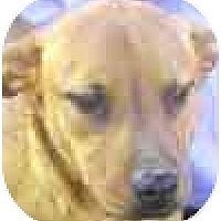 Adopt A Pet :: Scrappy - Mesa, AZ