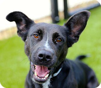 Canaan Dog Mix Dog for adoption in Cumming, Georgia - Georgia