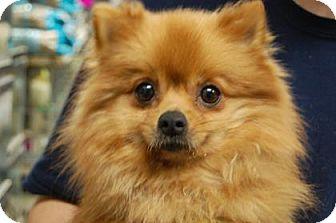 Pomeranian Mix Dog for adoption in Brooklyn, New York - Joy