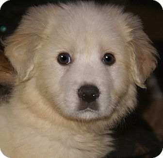 Great Pyrenees Mix Puppy for adoption in Staunton, Virginia - Thor