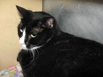 Domestic Mediumhair Cat for adoption in Logan, Utah - Fritz