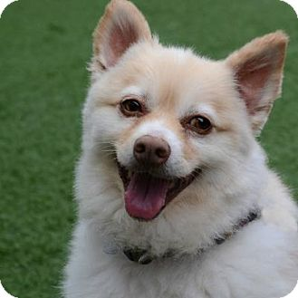 Pomeranian Mix Dog for adoption in Denver, Colorado - Luke