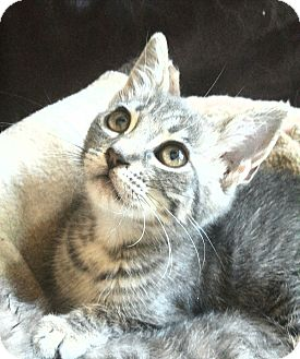 Domestic Shorthair Kitten for adoption in Los Angeles, California - Leila