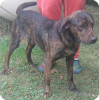 Mountain Cur Mix Dog for adoption in Hillsboro, Ohio - Mike