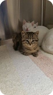 Domestic Shorthair Kitten for adoption in Troy, Ohio - Amazon