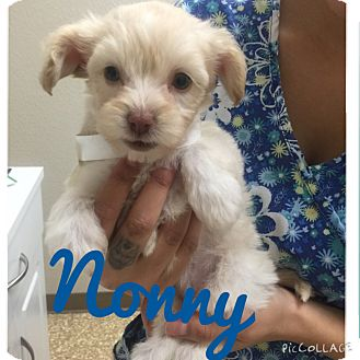 Maltese/Yorkie, Yorkshire Terrier Mix Puppy for adoption in Brea, California - Noony