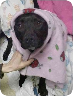 American Staffordshire Terrier Dog for adoption in Huntington, New York - Madison