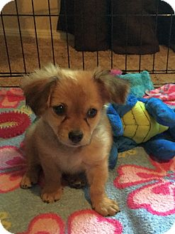 Spaniel (Unknown Type) Mix Puppy for adoption in Mesa, Arizona - NUTTER  BUTTER 2 MO SPANIEL