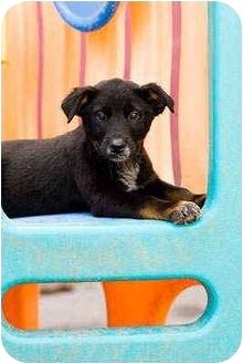 Australian Cattle Dog/Labrador Retriever Mix Puppy for adoption in Portland, Oregon - Nevada