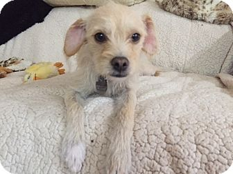Terrier (Unknown Type, Small) Mix Dog for adoption in Santa Monica, California - OLIVE