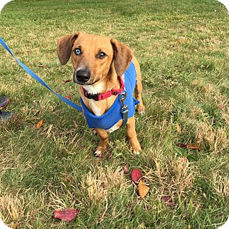 Dachshund/Blue Heeler Mix Dog for adoption in Providence, Rhode Island - George