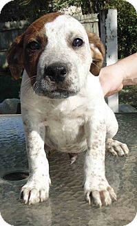 Pointer/Australian Cattle Dog Mix Puppy for adoption in Washington court House, Ohio - Clyde