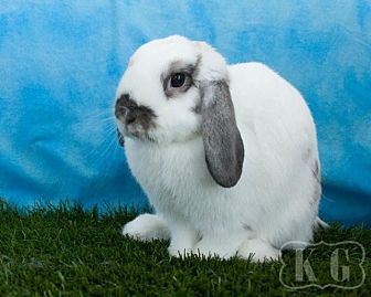 Lop, Holland for adoption in Pflugerville, Texas - Icicle