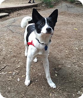 Papillon/Rat Terrier Mix Dog for adoption in La Mirada, California - Marty