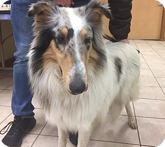 Collie Puppy for adoption in Chantilly, Virginia - Bailey