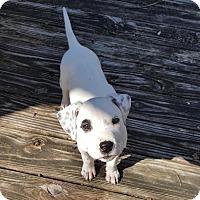 Adopt A Pet :: Bugsy - Tallahassee, FL
