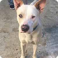 Adopt A Pet :: Lion - Houston, TX