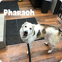 Adopt A Pet :: Pharoah - Sweet Guy - Huntsville, ON