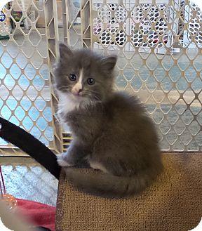 Domestic Longhair Kitten for adoption in Geneseo, Illinois - Miss Mato