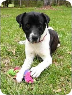 Labrador Retriever/Spaniel (Unknown Type) Mix Dog for adoption in Mocksville, North Carolina - Josh