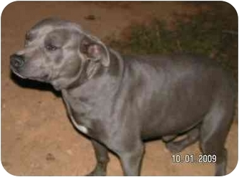 American Staffordshire Terrier Dog for adoption in Rougemont, North Carolina - Smoke