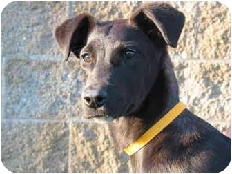 Labrador Retriever Mix Dog for adoption in El Cajon, California - Andy