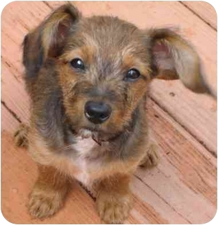 Dachshund Mix Puppy for adoption in Staunton, Virginia - Baby Regis