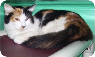 Calico Cat for adoption in Somerset, Pennsylvania - Honey Bee