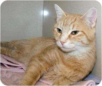 Domestic Shorthair Cat for adoption in Edmonton, Alberta - Faith