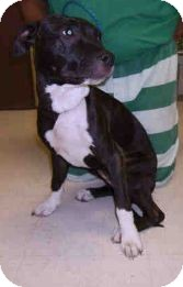 American Pit Bull Terrier Mix Dog for adoption in Yuba City, California - Unnamed