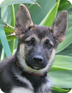 German Shepherd Dog Puppy for adoption in Los Angeles, California - Chante von Bavaria