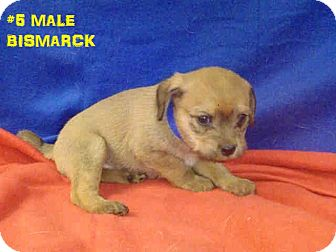 Maltese/Terrier (Unknown Type, Small) Mix Puppy for adoption in north hollywood, California - Bismarck
