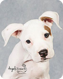 American Bulldog Mix Puppy for adoption in Terra Ceia, Florida - AVA