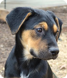 Retriever (Unknown Type)/Shepherd (Unknown Type) Mix Puppy for adoption in Westport, Connecticut - *Rio - PENDING