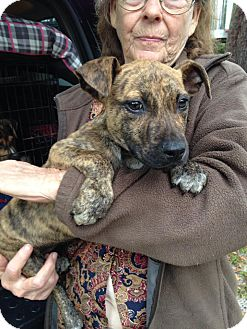 American Staffordshire Terrier/Mountain Cur Mix Puppy for adoption in Groveland, Florida - Bunker