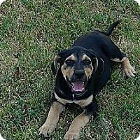 Adopt A Pet :: Beaudy - Conway, AR