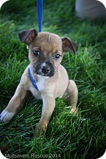 Chihuahua/Pug Mix Puppy for adoption in Broomfield, Colorado - Bourbon