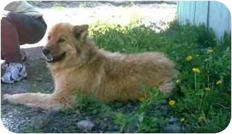 Golden Retriever/Chow Chow Mix Dog for adoption in Kellogg, Idaho - Cameron