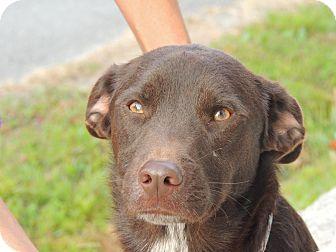 Basset Hound/Labrador Retriever Mix Dog for adoption in Hagerstown, Maryland - Louie