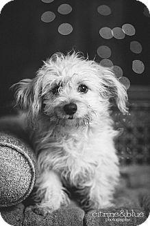 Wheaten Terrier/Poodle (Miniature) Mix Puppy for adoption in Portland, Oregon - Seuss