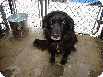 Spaniel (Unknown Type) Mix Dog for adoption in Henderson, North Carolina - Willie