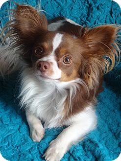 Papillon/Pomeranian Mix Dog for adoption in Encino, California - Pappi - courtesy post