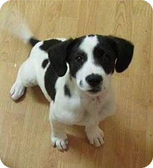 Labrador Retriever Mix Puppy for adoption in Lincoln, Nebraska - SAGE