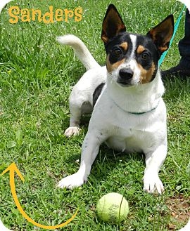 Corgi/Terrier (Unknown Type, Small) Mix Dog for adoption in Lawrenceburg, Tennessee - Sanders