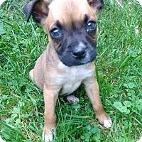 Adopt A Pet :: Louie - Morgantown, WV