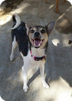 Chihuahua/Terrier (Unknown Type, Small) Mix Dog for adoption in Cat Spring, Texas - Cassie